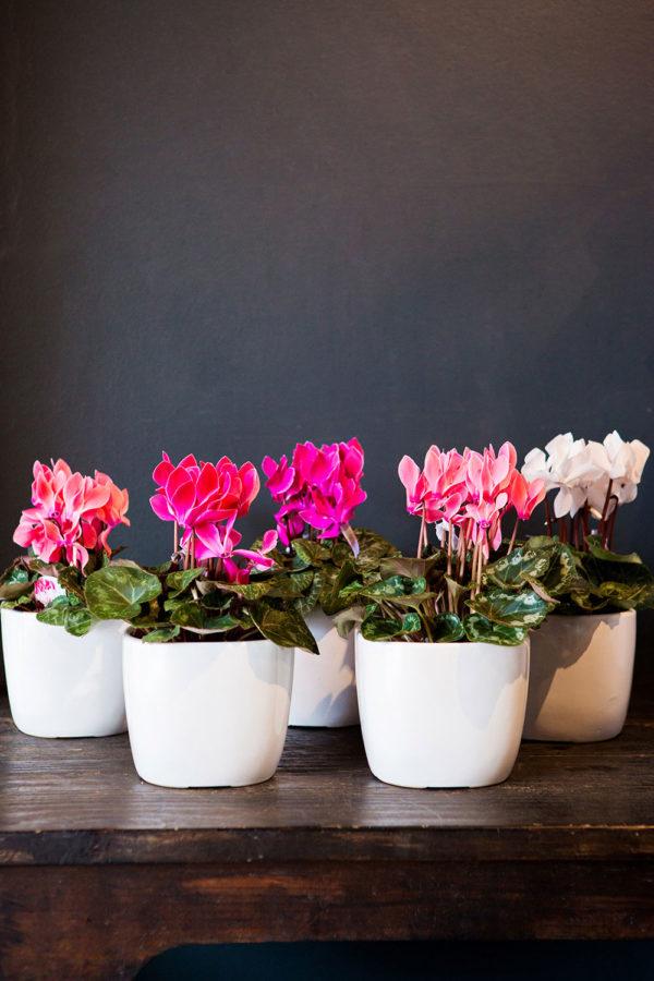 colour & cute potted colour plants