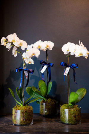 perfect & elegant potted orchids
